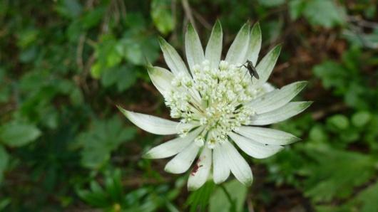 fleur dans le vallon de Litouès (65)