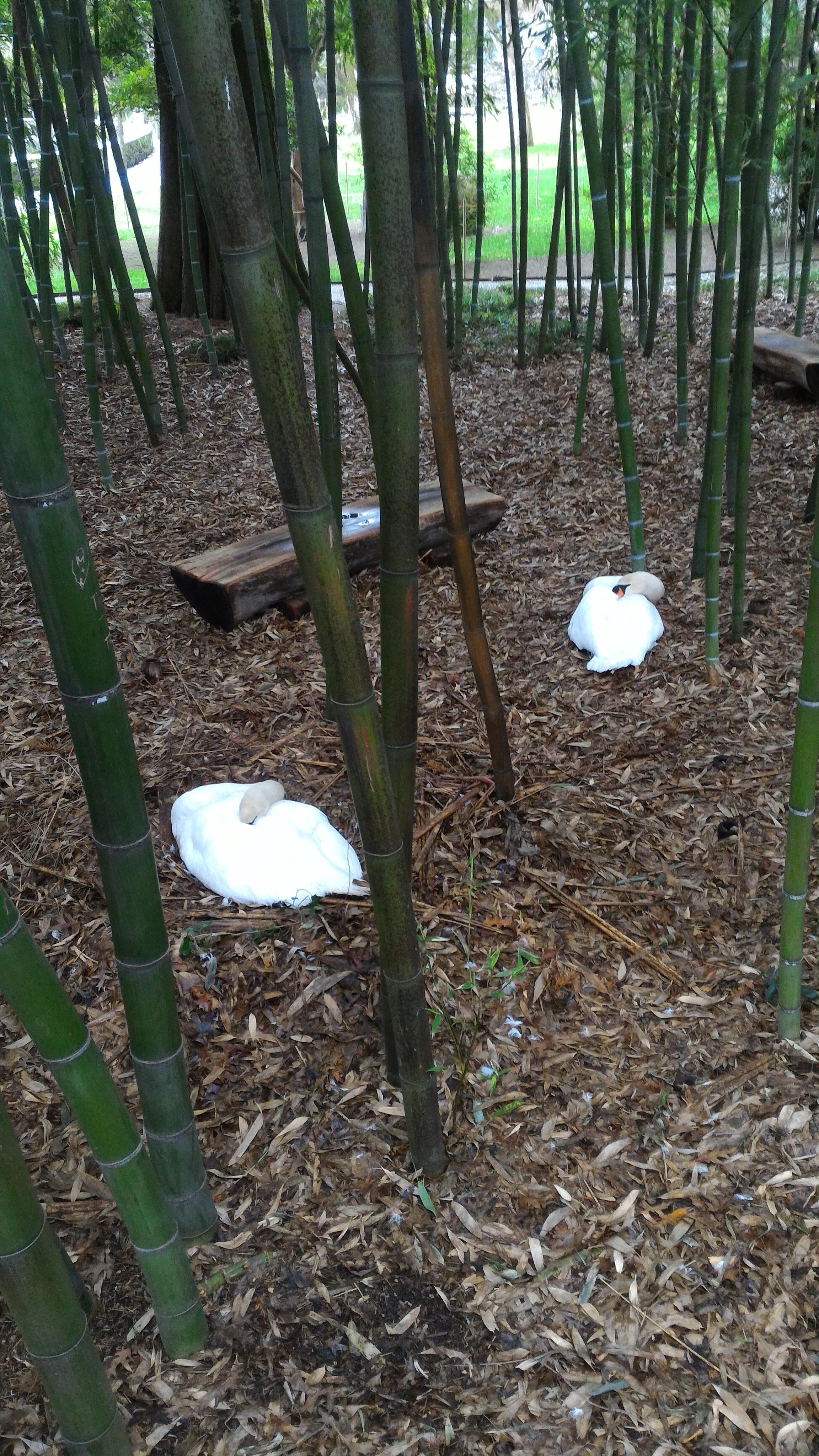 cygnes endormis sous les bambous
